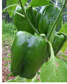 Easy to Grow Green Peppers