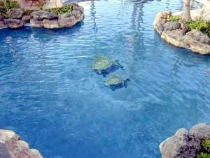 Turtle Bay main pool
