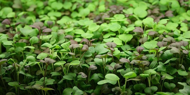 Organic Microgreens a Miracle of Life?