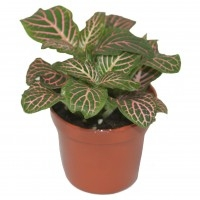 Fittonia-Pink