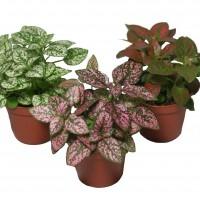 Polka-Dot-Plant