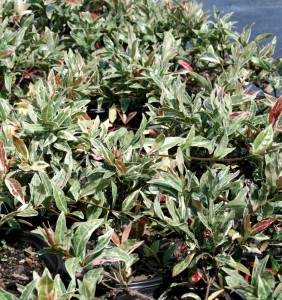 tricolor jasmine