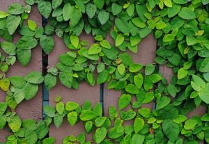 Green Creeping Fig