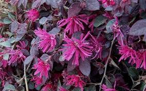 loropetalum blooms