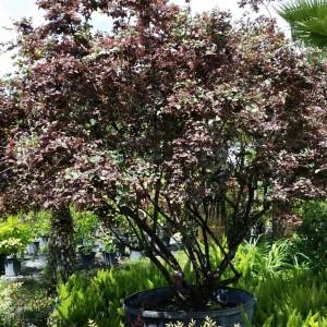 loropetalum tree